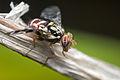 H-eyed fly (15212068364).jpg