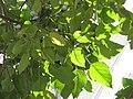 HK 灣仔 Wan Chai 修頓球場 Southorn Playground October 2017 IX1 Candlenut 石栗樹 Aleurites moluccana tree green leaves.jpg