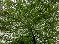 HK CWB 火龍徑 Fire Dragon Path tree crown Apr-2014 ZR2.JPG