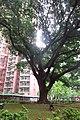 HK SMP 秀茂坪邨 Sau Mau Ping Estate Campion tree silk July 2018 IX2 002 (2).jpg