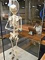 HK TST Science Museum Bones exhibit 22 人類 skeletons.JPG