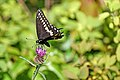 Halifax DSC08402 - Black Swallowtail (35522510803).jpg