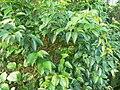 Halleria lucida - foliage 5.JPG