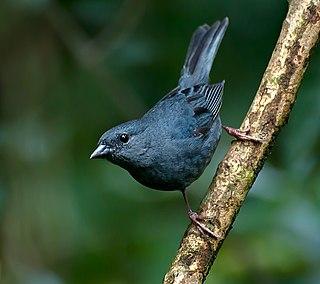 Uniform finch Species of bird