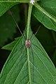 Harvestman (Opiliones) - Mississauga, Ontario 02.jpg