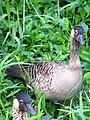 Hawaiian Goose (Nene) 4 (3429481717).jpg
