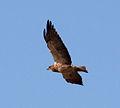 Hawk 3 (7978595610).jpg