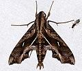 Hawkmoth (Hemeroplanes triptolemus) (24858604357).jpg