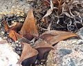 Haworthia mirabilis badia MBB 1 Napier.jpg