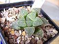 Haworthia pygmaea (6192232790).jpg