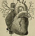 Heart and large Blood Vessels in An academic physiology and hygiene (1903).jpg
