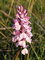 Heath spotted orchid on Yew Tree Heath, New Forest - geograph.org.uk - 184252.jpg