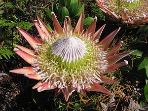 Helderberg Nature Reserve - Image: Helderberg Nature Reserve Fynbos 3