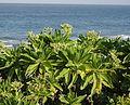 Heliotropium foertherianum (Boraginaceae) (14754319213).jpg
