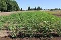 Hemp plants (48057838317).jpg