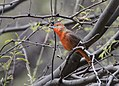 Hepatic Tanager (33590942560).jpg