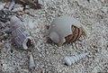 Hermit crab in broken shell. Inagua. Coenobita clypeatus in Polynices lacteus moon shell (38155070674).jpg