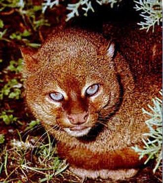 Santa Ana National Wildlife Refuge - Gulf Coast jaguarundi are among the animals found in the refuge