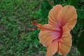 Hibiscus 6531.JPG