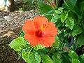 Hibiscus Hibiscus rosa-sinensis.jpg