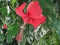 Hibiscus Schizopetalus Macro.jpg