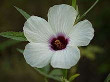 Hibiscus cannabinus (6309614353).jpg