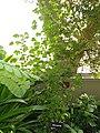 Hibiscus greenwayi - Denver Botanic Gardens - DSC00955.JPG