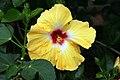 Hibiscus rosa-sinensis Jason 8zz.jpg