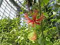 Hibiscus schizopetalus 0010.jpg