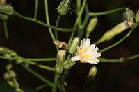 Hieracium albiflorum 0491