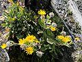 Hieracium villosum Auernig 20160811.jpg