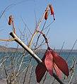 Hildegardia migeodii - Pemba Bay (8131504258).jpg