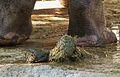 Hippopotamus amphibius Kot.JPG