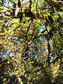 Hoh Rainforest - Olympic National Park - Washington State (9780291226).jpg