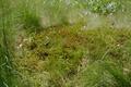 Hoher Vogelsberg Breungeshainer Heide Geiselstein Goldwiese Polytrichum strictum Gramineae.png
