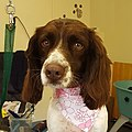 Holly 2 Year old Field bred English Springer Spaniel.jpg