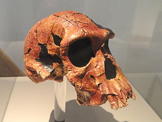 Homo habilis - Lateral view of the KNM ER 1813 cranium (replica), Naturmuseum Senckenberg