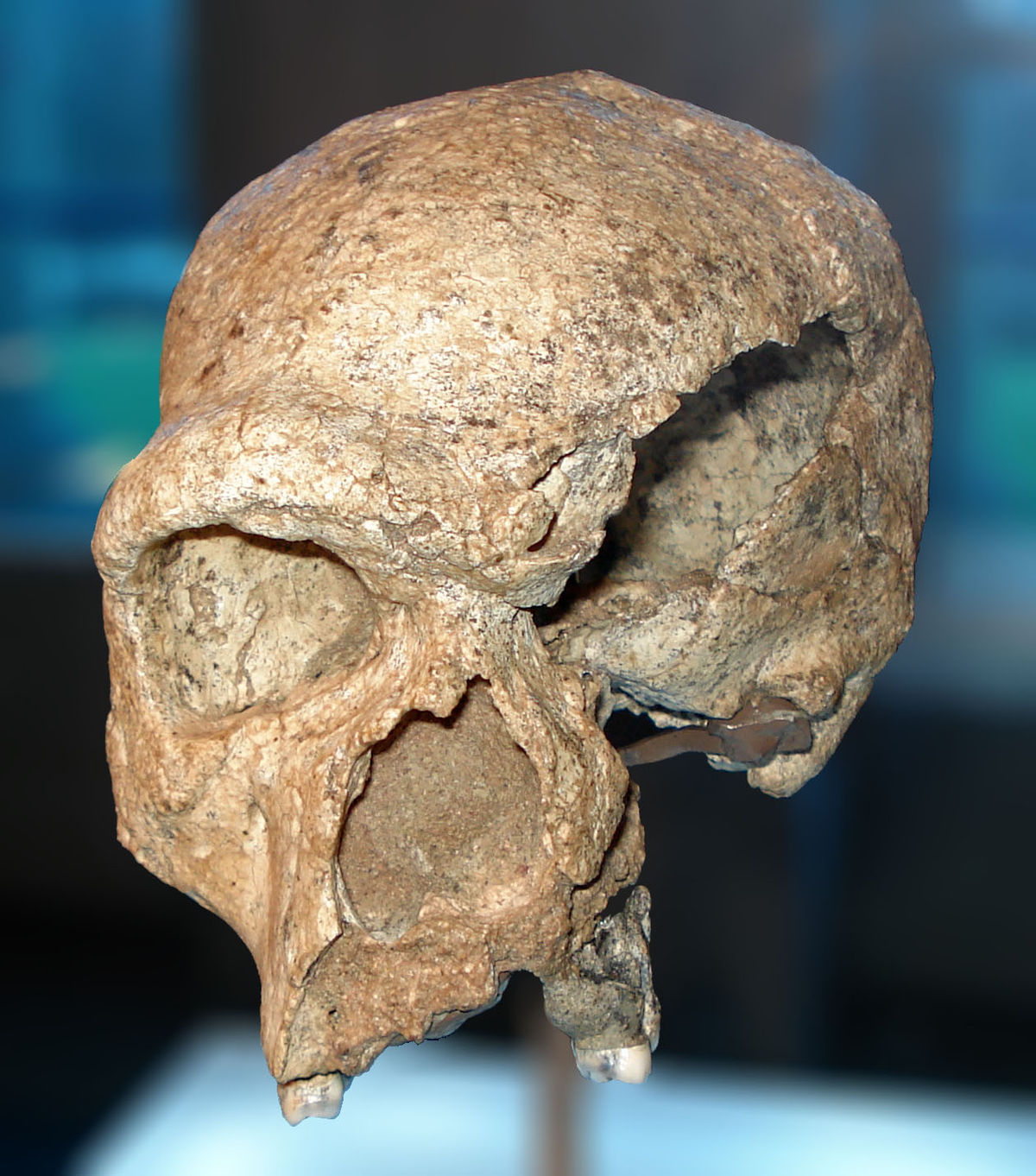 single steinheim A new middle pleistocene hominid from turkey the specimen consists of frontal and parietal fragments from a single skull but also steinheim.