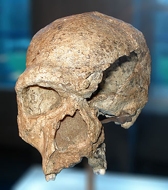 Accretion model of Neanderthal origins - Image: Homo steinheimensis, holotype