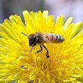 Honeybee over the Dandelion.jpg