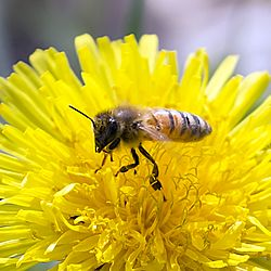 Honeybee over the Dandelion.jpg