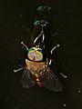 Horse Fly (Tabanidae) (15592717115).jpg