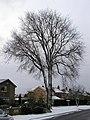 Huge Tree - geograph.org.uk - 280229.jpg