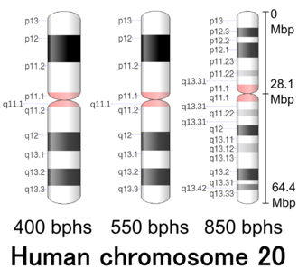 Chromosome 20 (human) - Image: Human chromosome 20 400 550 850 bphs