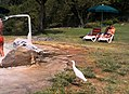 Humans and cattle Egret (Bubulcus ibis) at the thermal baths, Ancient Roman Baths of Stigliano, Italy.jpg