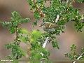 Hume's Warbler (Phylloscopus humei) (28988615562).jpg