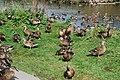 Hwyaid Ysgo Ducks - geograph.org.uk - 568336.jpg