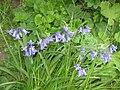Hyacinthoides ×massartiana Valery2.jpg