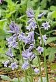 Hyacinthoides non-scripta voorjaarsbloeier.jpg