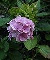 Hydrangea-Flower.jpg